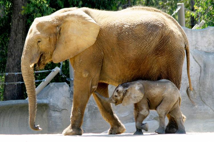 если слоны в южной америке стоит улице
