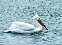 Пеликан кудрявый .jpg
